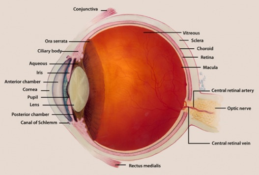Human eye anatomy is reviewed defined and summarized here