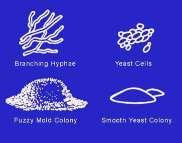 Molds And Yeasts Colonies Cells Compared Contrasted